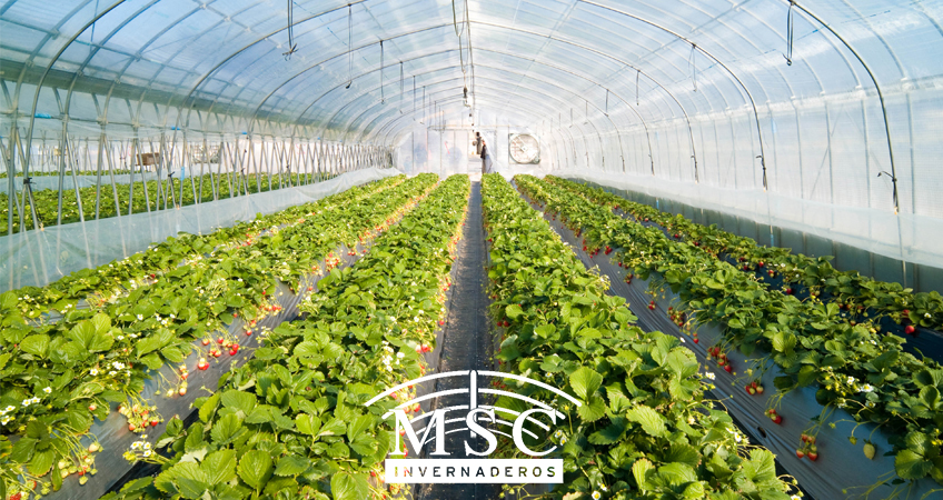 Ventajas de cultivar en invernadero.