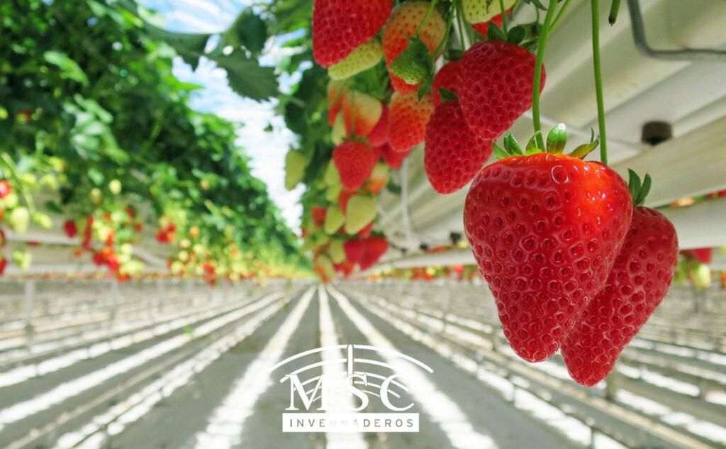 Cultivo de fresas en invernaderos